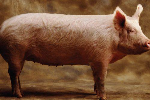Previsão do tempo pelo baço do porco
