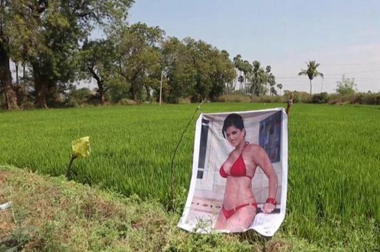 Agricultor usa fotos de mulheres para proteger a lavoura