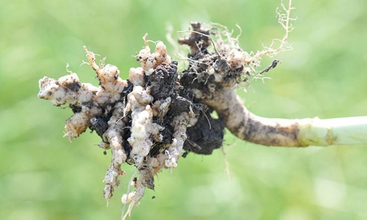 Doença ameaça o plantio de canola no Canadá