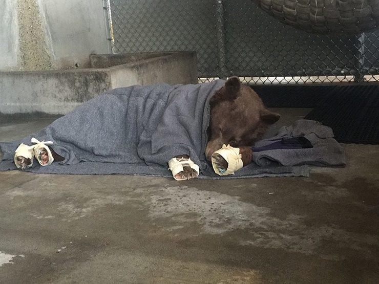 Curativos com pele de tilápia estão salvando ursos na Califórnia