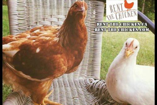 Aluguel de galinhas: um novo negócio nos EUA