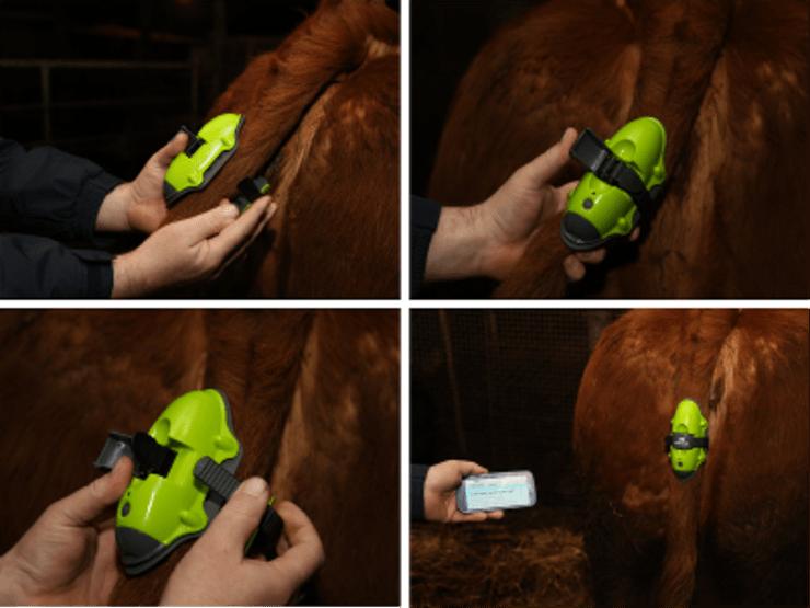 Proximidade do parto em vacas pode ser alertada por mensagem de texto