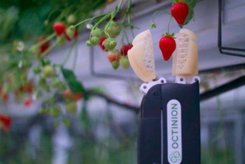 Strawberry Picker – o robô colhedor de morangos da Octinion