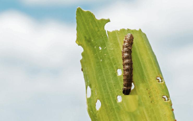 A Europa está com medo da lagarta do cartucho