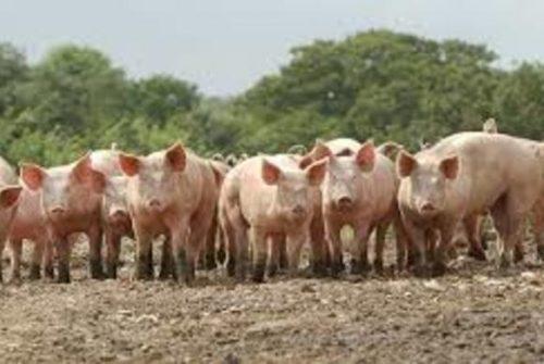 Vizinhos processam granja de suínos nos EUA por conta do fedor