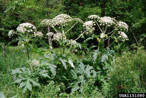 Giant hogweed, a planta que queima a pele e pode cegar está se espalhando nos Estados Unidos